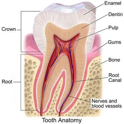 Tooth Anatomy explaining Root Canal
